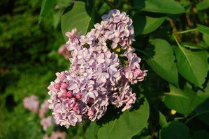 Lilas-rose-double-PtitCheri.jpg