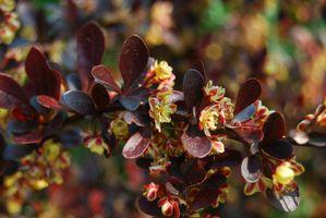 Berberis-thunbergii-atropurpurea---fleurs.jpg