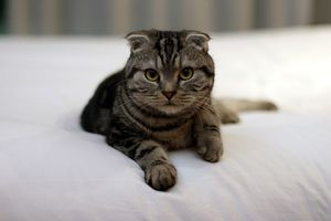 Scottish_Fold-brown-tabby-tom-thai.jpg
