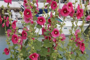 roses-tremieres-saint-trojan-023.JPG