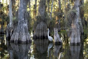FLORIDE Everglades National Park cypress