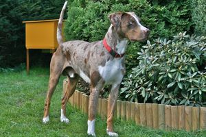 Louisiana_Catahoula_Leopard_Dog_-_Red_Leopard.jpg
