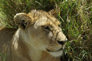 1070l-lion-panthera-leo
