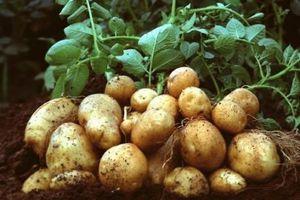 legume-pomme-de-terre-amflora-genetiquement-modifi-copie-1.jpg