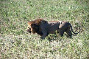 DSC06399 Lion