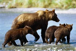 grizzly-famille-568285.jpg