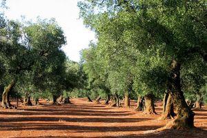 oliveraie-603504.jpg
