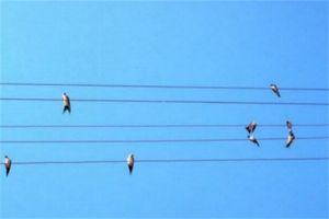 Hirondelles sur fil