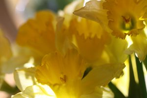 Jonquilles--2-.jpg