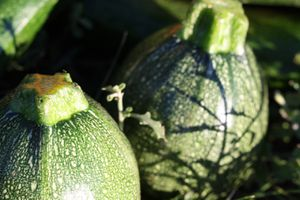 Courgettes rondes 45
