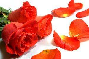 Roses-et-pétales-roses-1296205813 96