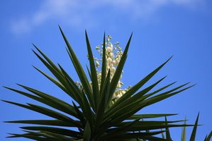 fleur-yucca.jpg