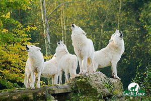 les-loups-blancs-d-Alaska.jpg