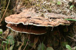 Elagage des arbres et cicatrisation des plaies de taille les conseils de jardin de vavou - Champignon sur tronc d arbre ...