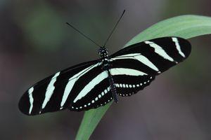 papillons CUBA3352