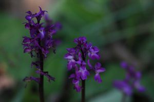 orchidée4182