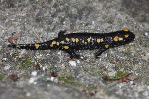 salamandre4599
