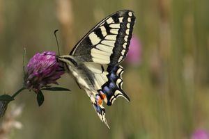 machaon4461