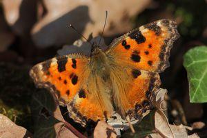 papillons4009