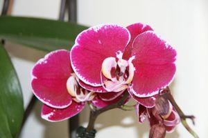 17 janvier 2010 les orchid es par monsieur jurion le blog de dan au jardin. Black Bedroom Furniture Sets. Home Design Ideas