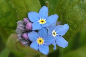 Myosotis.laxa La rvolte des Myosotis ... un an dj 