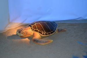 reproduction-tortue-marine.JPG