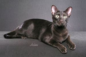 havanna-cat-header.jpg