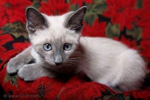 2154466-doux-et-innocents-lilas-chaton-siamois-point-rouge-.jpg