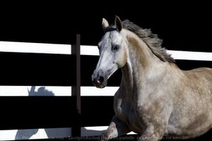 487668-animaux-chevaux-anglo_arabe.jpg