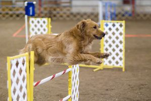 Golden_Retriever_agility_jump.jpg