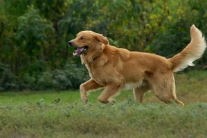 golden-retrievers-100803-02.jpg
