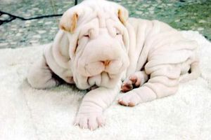Sharpei_the_towel_dog_4.jpg