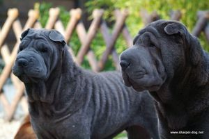qi-ming-xing-sharpei-kennel_16.jpg