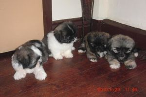 1277790016_102398885_1-Pictures-of--shih-txu-x-lhasa-apso-f.jpg