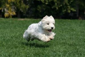 west_highland_white_terrier_westie.jpg