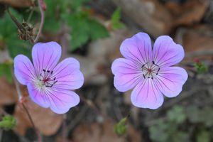 geraniumrainbow