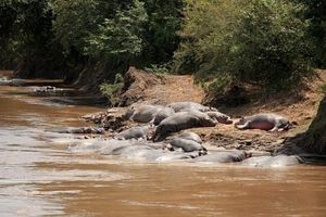 7540341-hippo-in-mara-river--maasai-mara-national-park-in-k.jpg