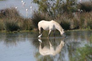 ER cheval camargue