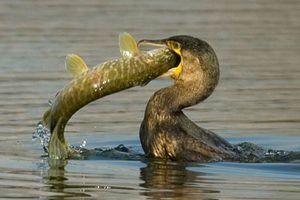 cormoran brochet-1