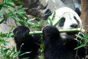 Giant_Panda_Tai_Shan.JPG