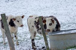 vaches grand froid animal cross