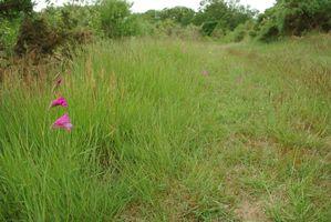 gladiolus illyricus05