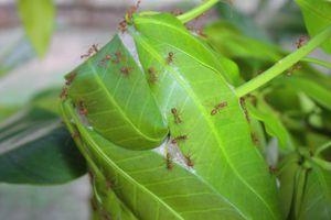 Un nid de fourmis rouge