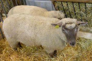 salon-de-l-agriculture-2014---moutons.jpg