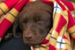 Chocolate_Labrador_Retriever_Puppy-de-rob-hanson.jpg