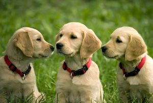 Golden-Retriever-puppy-4-picture.jpg