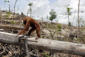 orangutan-deforestation-for-palm-oil-plantationscenes-from-.jpg