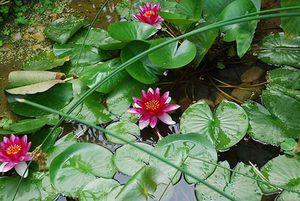lotus c