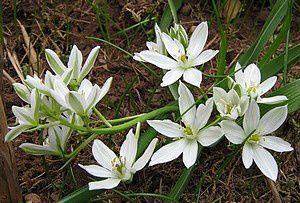ornithogalum-umbellatum-30-mars-10.jpg