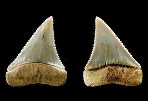 Carcharodon carcharias,miocène-pliocène, Huarra formation